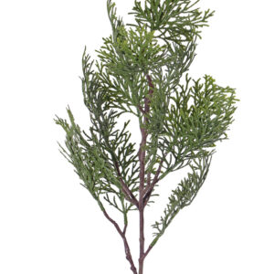 Cypress Branch (Cupressus)