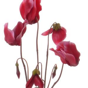 Cyclamen Plant, Pink