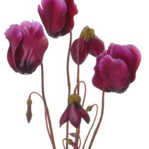 Cyclamen Plant, Purple