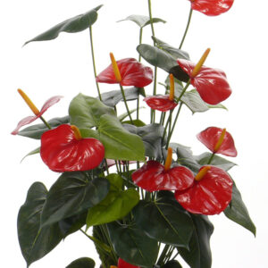 Anthurium Bush, Red
