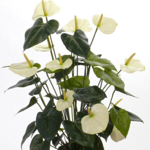 Anthurium Bush, White