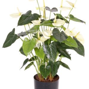Anthurium Pot, Cream