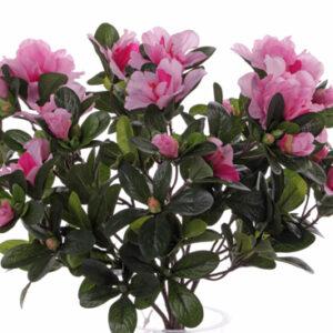 Azalea Plant, Pink