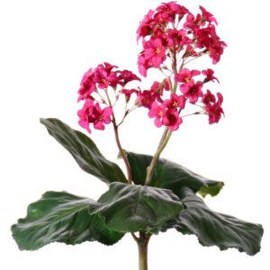 Bergenia Bush, Pink