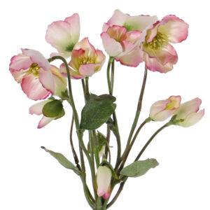 Helleborous, Christmas Rose Plant