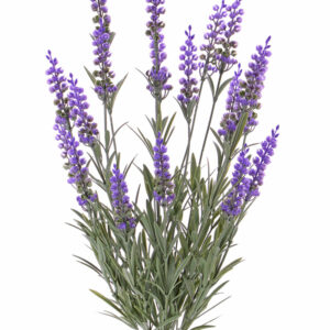 Lavendel Bush (Lavender)