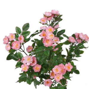 Rose Cabbage Plant, Pink
