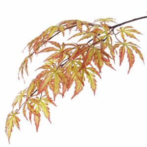 Acer, Autumn