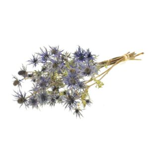 Eryngium, Blue Star, Natural