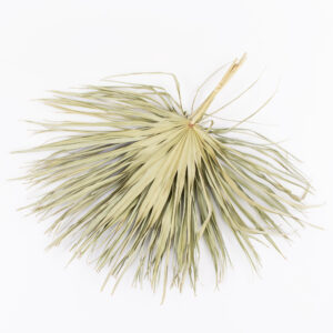 This a bunch of large, natural-coloured palm sun stems, with long, spidery fronds, laid on a white background.