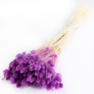 This is a bunch of milka, or medium purple, phalaris against a white background