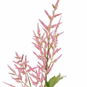 Astilbe, Pink