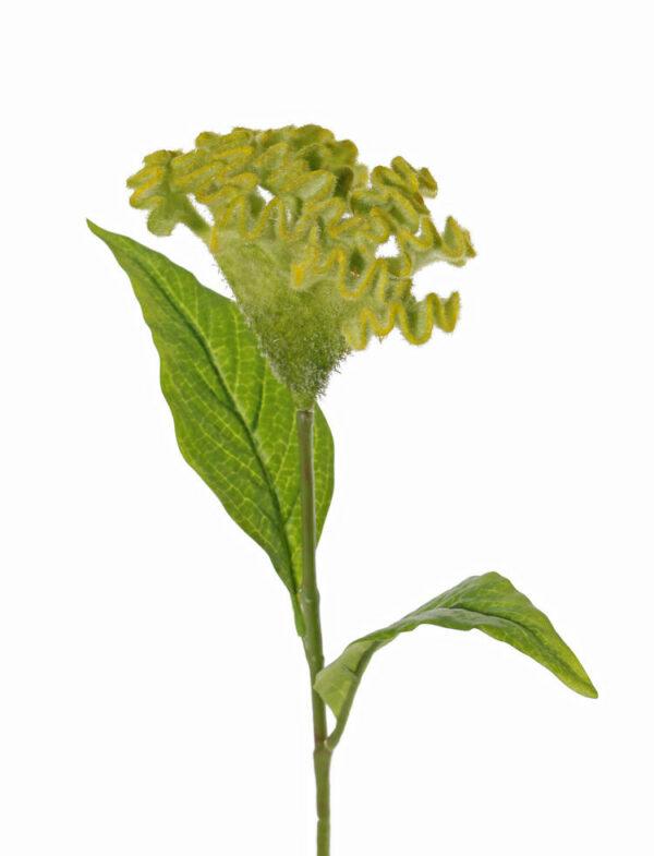Celosia Argentea, Christata, green