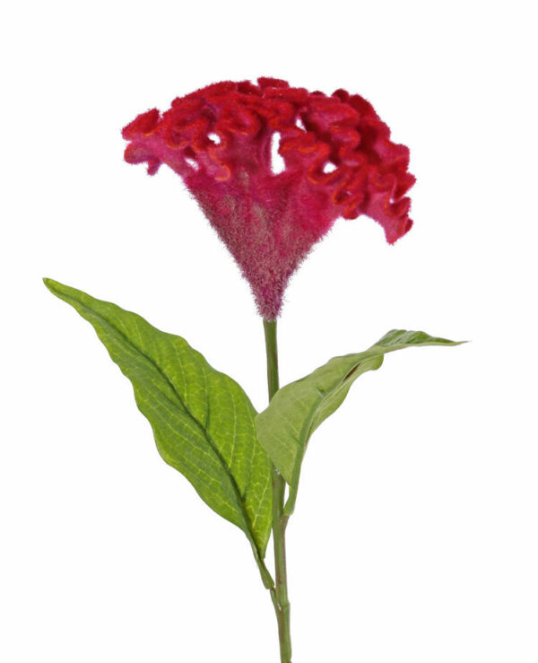 Celosia Argentea, Christata, Red
