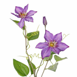 Clematis, Garden Art, Purple