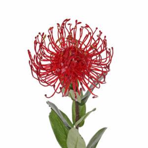 Protea Pincushion, Red