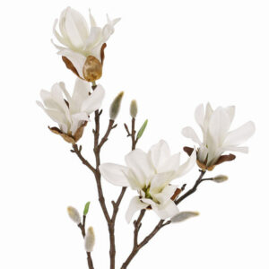 Magnolia, Stellata, Small, White