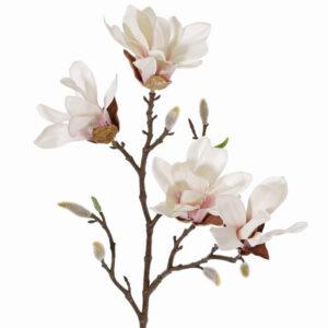 Magnolia Stellata, Small, White/Pink