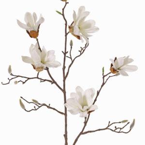 Magnolia Stellata, Large, White