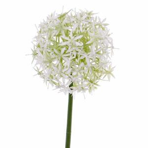 Allium, White