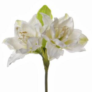 Amaryllis, Hippeastrum, White