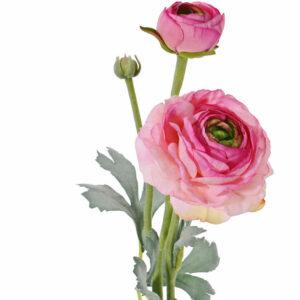 Ranunculus, Pink