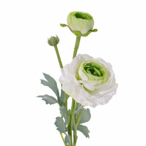Ranunculus, White/Green
