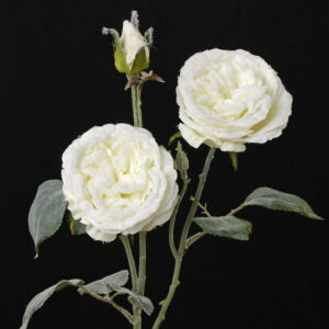 Snowy Rose Cabbage, White