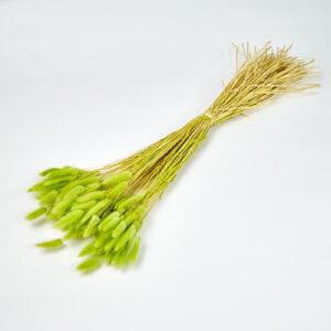 Lagurus Green Bunch