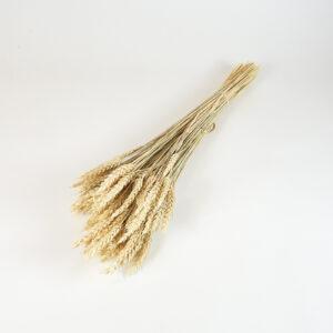 Dried Triticum, Ecru