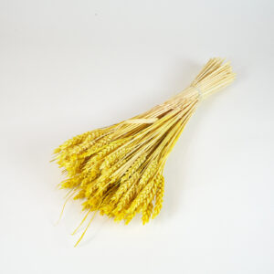 Dried Triticum Yellow