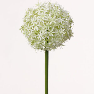 Allium Grande, White