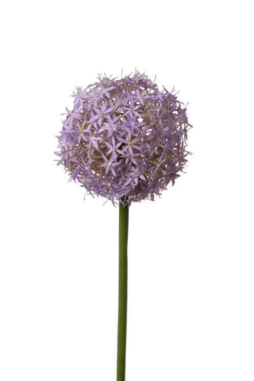 Allium Grande, Purple