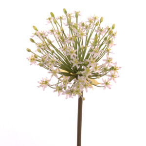 Allium Flowering Goliath, Cream