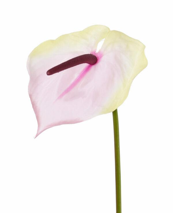Anthurium, Cream/Pink