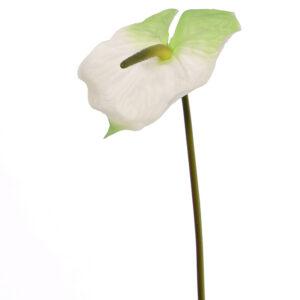 Anthurium, White/Green