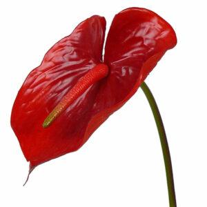 Anthurium, Red