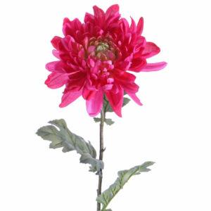 Chrysanthemum, Pink