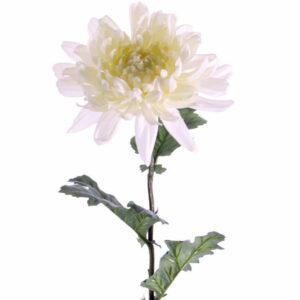 Chrysanthemum, White