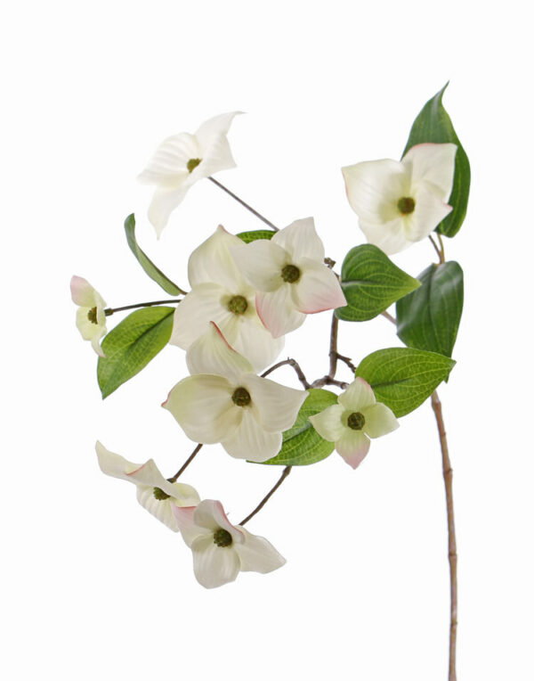 Japanese Dogwood, White