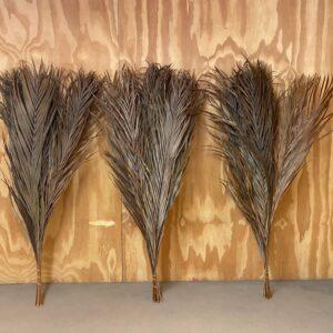 Dried Kentia Palm