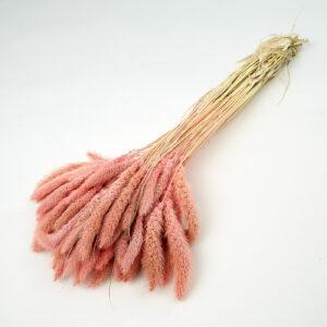 Setaria Pendula Pink