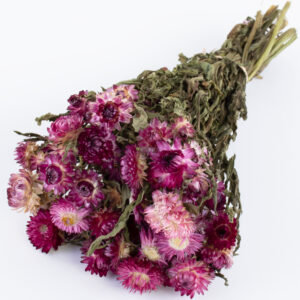 This image shows a bunch of helichrysum brateatum, in dark pink, laid on a white background