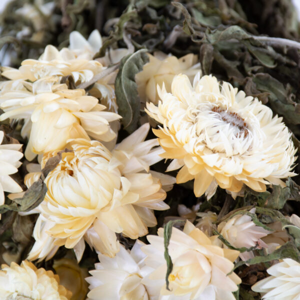 This image shows a bunch of helichrysum brateatum, in a creamy white, laid on a white background