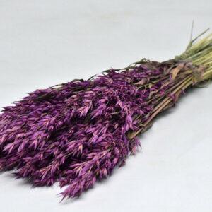 Oats, Purple, Bunch