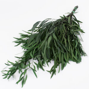 This is an image of preserved eucalyptus 'Nicolii', in a green colour, laid on a white background