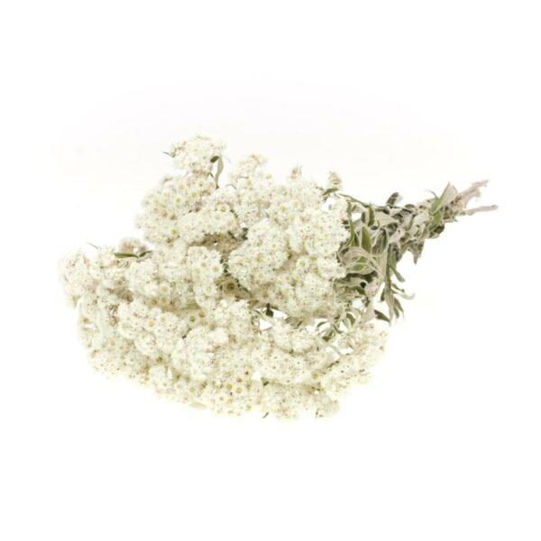 Anaphalis Natural White