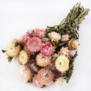 This image shows a bunch of helichrysum brateatum, in pink, laid on a white background