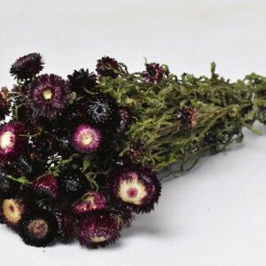 Helichrysum Dark Purple