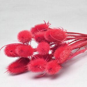 Cardoon Thistle, Pink